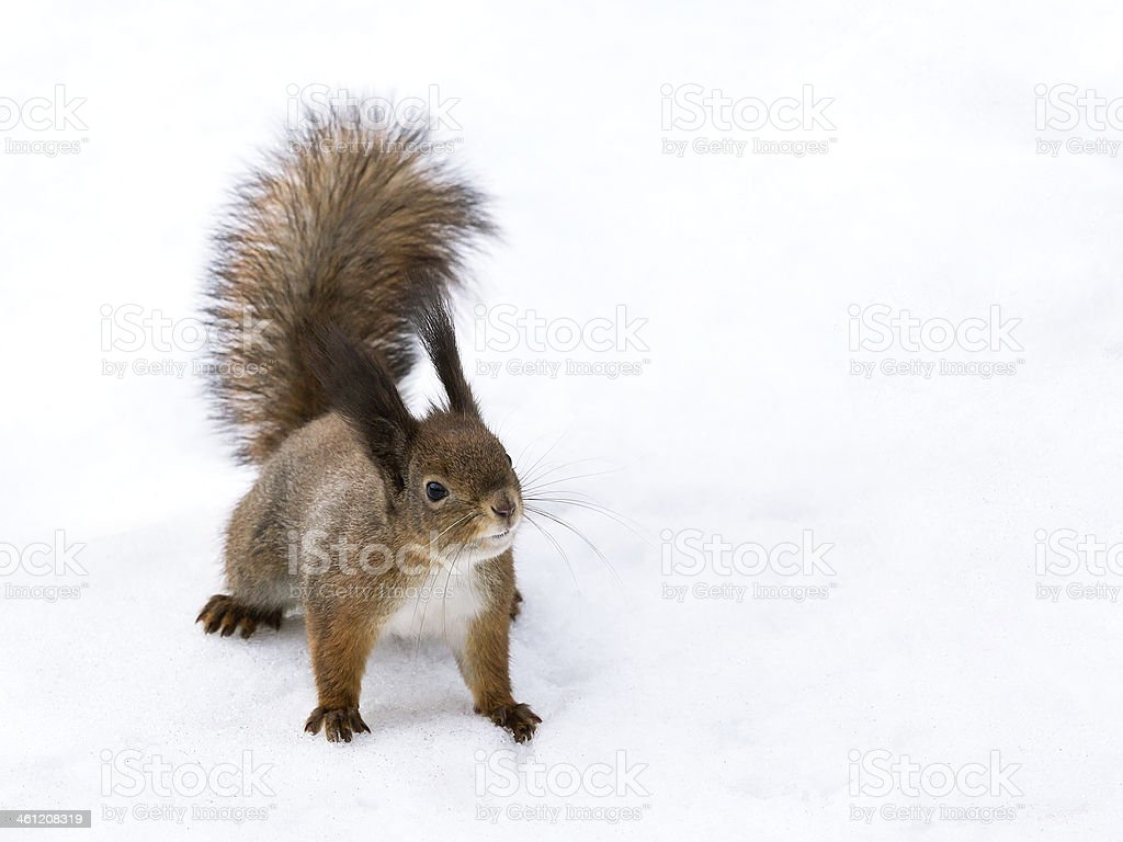 Cute red squirrel stock photo