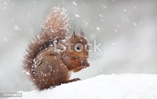 istock Cute red squirrel sitting in the snow covered with snowflakes 1029269026