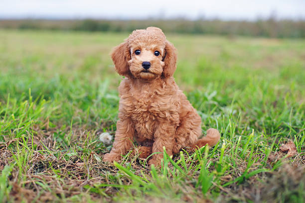 Cute red Toy Poodle puppy sitting outdoors on green grass Cute red Toy Poodle puppy sitting outdoors on a green grass poodle stock pictures, royalty-free photos & images
