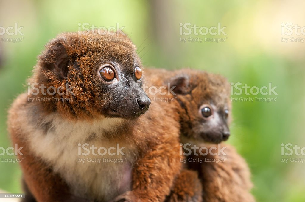 Cute Red-bellied Lemur with baby royalty-free stock photo