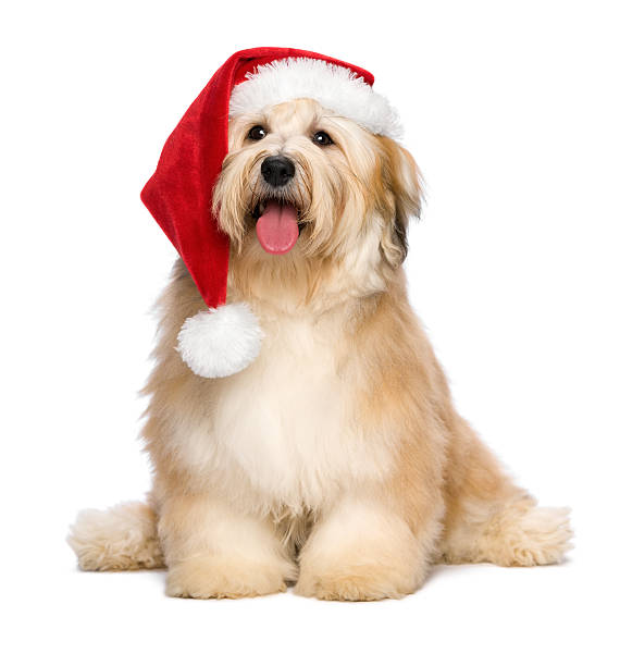 Cute reddish Christmas Havanese puppy dog with a Santa hat Cute reddish sitting Bichon Havanese puppy dog in a Christmas - Santa hat. Isolated on a white background santa hat stock pictures, royalty-free photos & images