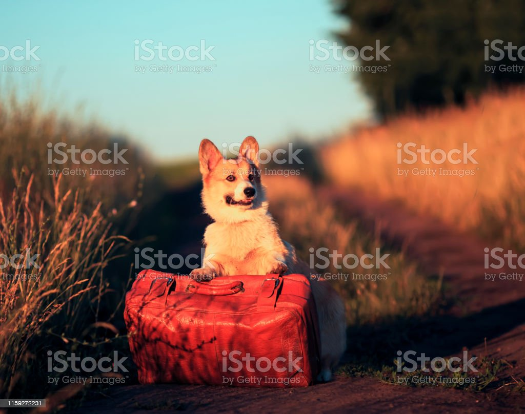 cute redhead a corgi dog puppy is standing with its paws on an old...