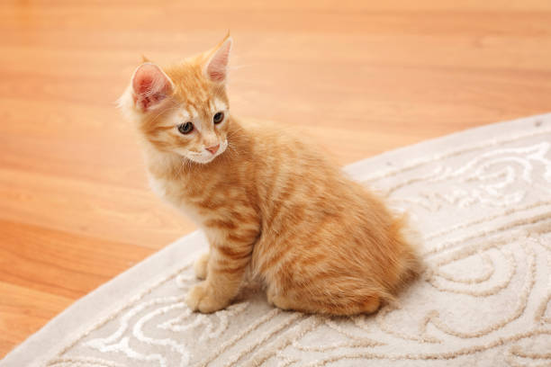 Cute redhead bobtail kitten. Kuril Bobtail cat ginger. Thoroughbred cat. Cute and funny kitten. Pet. bobtail squid stock pictures, royalty-free photos & images