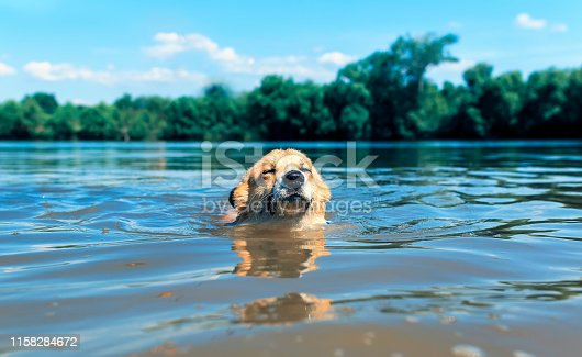 cute redhead corgi dog puppy swims in the lake funny wetting the face and ears