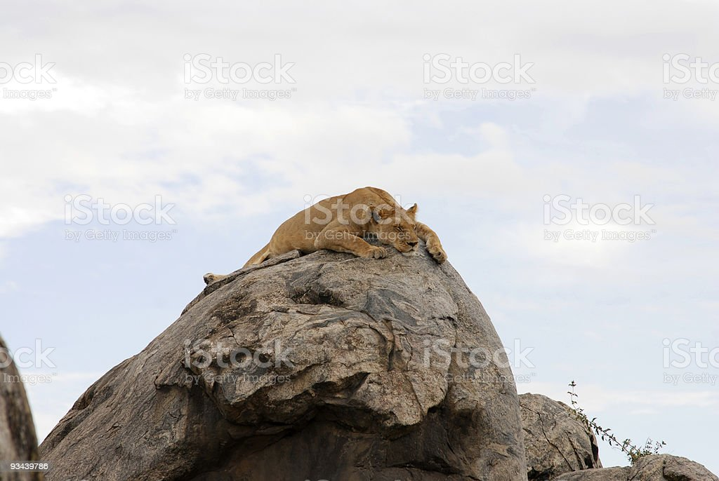 Süße entspannenden Löwe auf einem Felsen, picture1 Lizenzfreies stock-foto