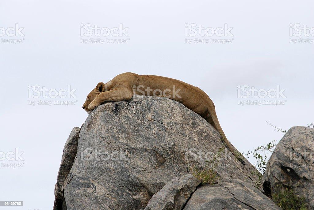 Süße entspannenden Löwe auf einem Felsen, picture3 Lizenzfreies stock-foto