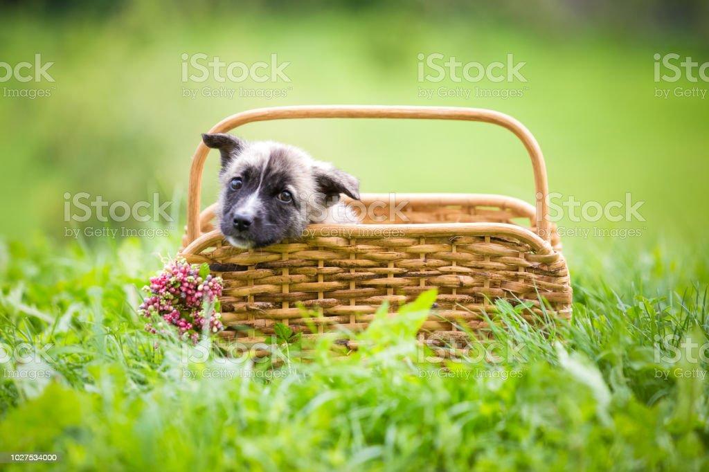 Puppy rescue romania