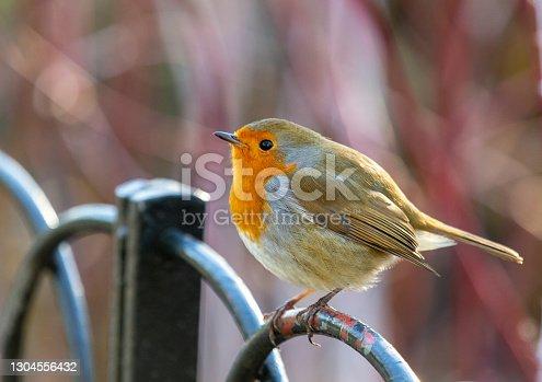 istock A cute Robin perching 1304556432