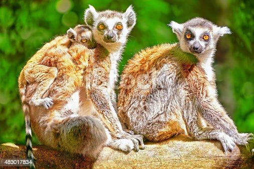 Cute  ruffed lemur in his  natural habitat of wildlife.