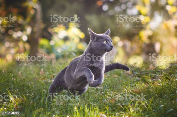 Cute russian blue cat running in nature picture id871234688?b=1&k=6&m=871234688&s=612x612&h=z 0wbzbnm74hal ktipeuku slnysutqh8llijqooiq=