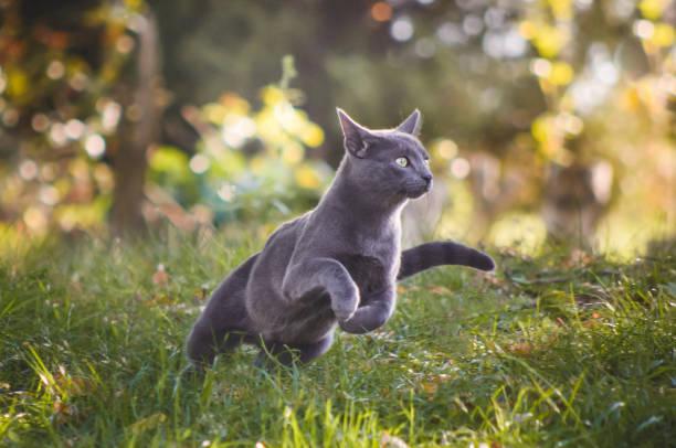 Cute russian blue cat running in nature picture id871234688?b=1&k=6&m=871234688&s=612x612&w=0&h=uoqlzosqoc1bf49ae4h5ytpoxkcshnrvsq8g dnluok=