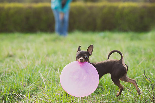 Cute russian toy terrier dog holding frisbee and look to picture id537321972?b=1&k=6&m=537321972&s=612x612&w=0&h=hdvnhlgpximjaxeeouaz9kjxqfag8cqleizbd9flcu0=