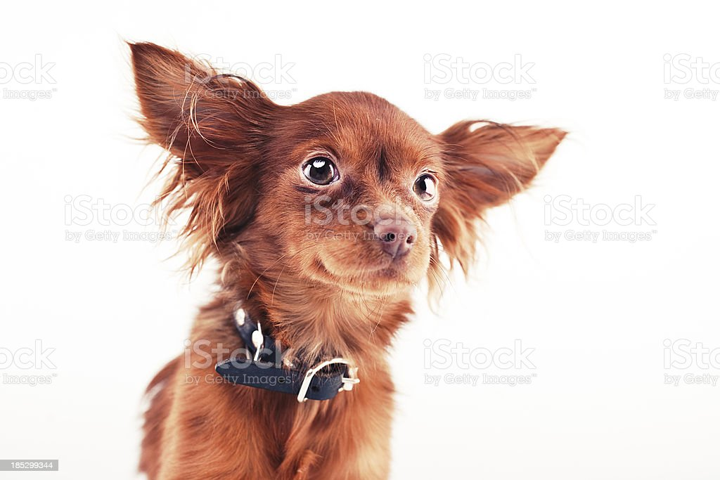 Cute Russkiy Toy royalty-free stock photo