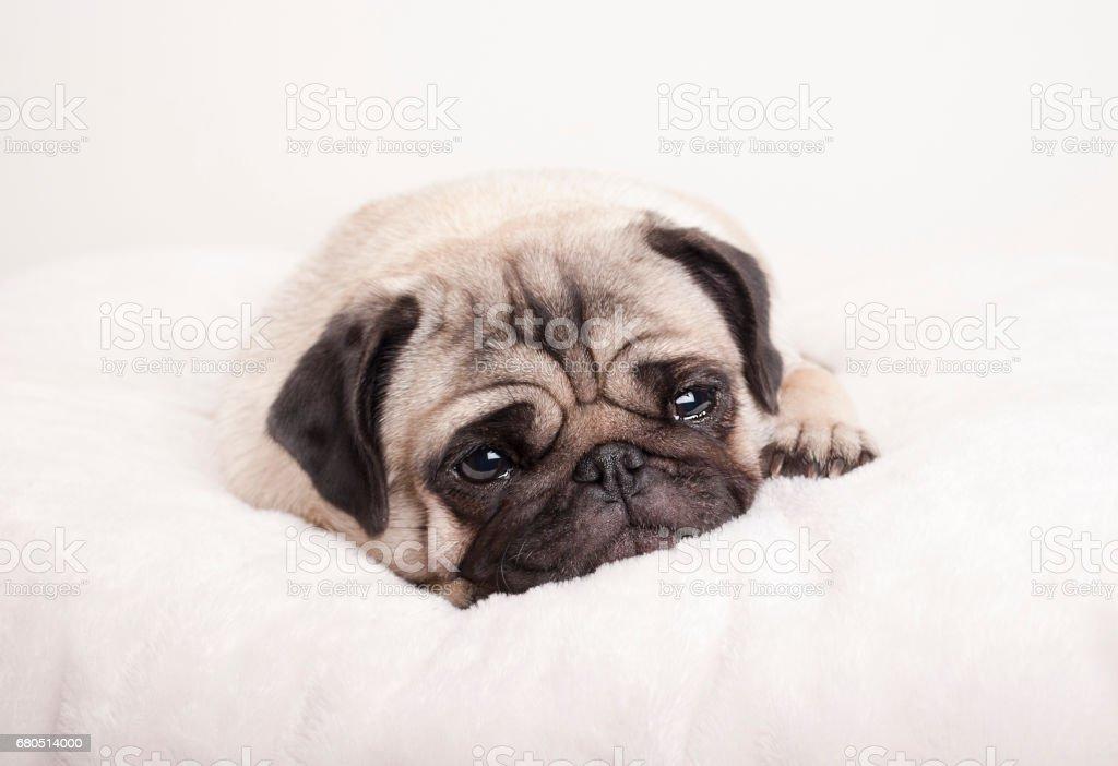 schattig triest pug puppy hondje, liggen huilen op fuzzy deken foto