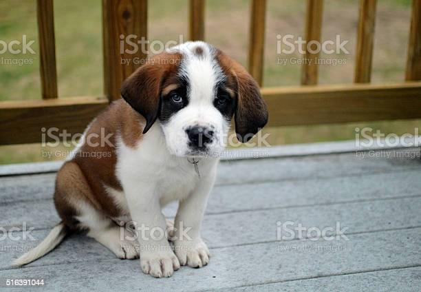 Cute saint bernard puppy new family friend picture id516391044?b=1&k=6&m=516391044&s=612x612&h=hevfjncbxyfqgukwu4zk9t0zpnle9stsjxlbsqth8yc=