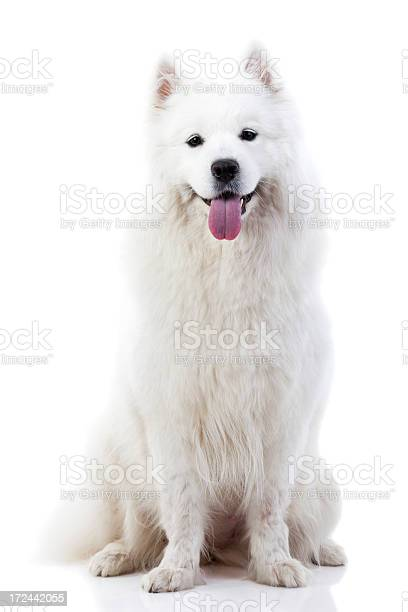 Cute samoyed dog picture id172442055?b=1&k=6&m=172442055&s=612x612&h=jiiupu9opgqznhs2igqsuaputeetiyalfklfu o4zo8=