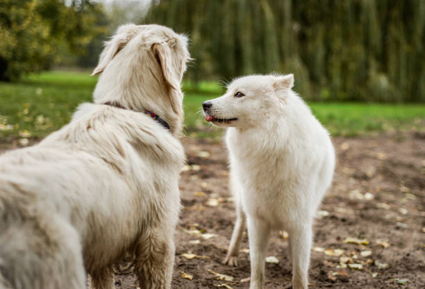 Cute Samoyed plays with golden retriever stock photo