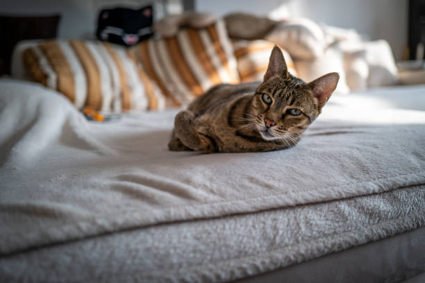 A cute Savannah cat on a couch stock photo
