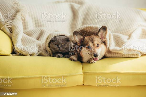 Cute scottish fold cat and welsh corgi dog lying under blanket on picture id1044929540?b=1&k=6&m=1044929540&s=612x612&h=owllszyb qutxvg1tpmg2edcgn7kjcxo26c0i1k3y24=