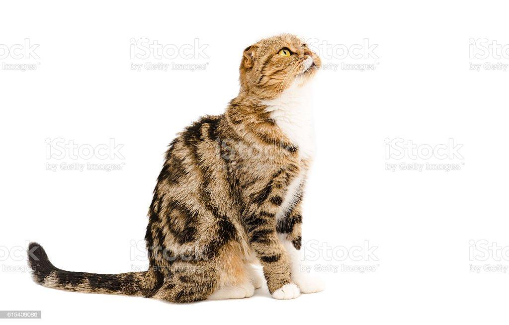 Cute Scottish Fold cat stock photo
