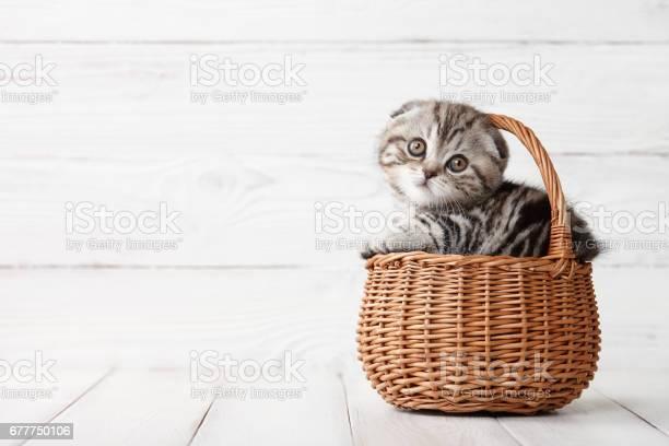 Cute scottish fold kitten in basket picture id677750106?b=1&k=6&m=677750106&s=612x612&h=ylljnxfzywnhemexged8s lcbnphrgt5lat5x9awimk=
