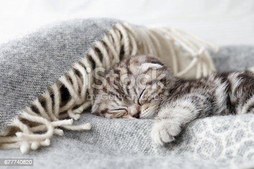 Cute scottish fold kitten sleeping in soft blanket on wooden boards background