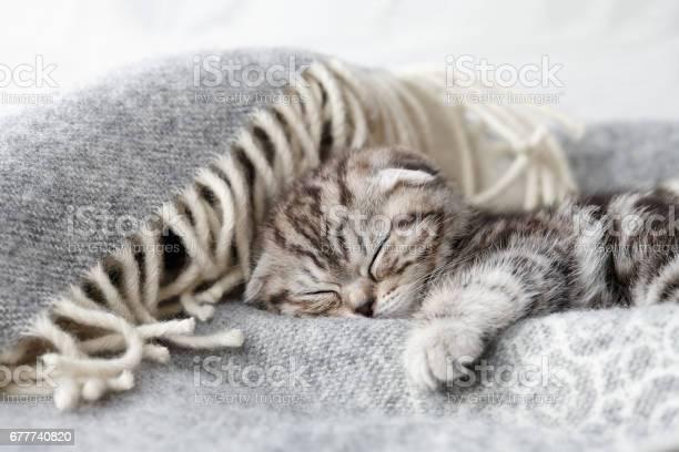 Cute scottish fold kitten sleeping picture id677740820?b=1&k=6&m=677740820&s=612x612&h=0p7eu 3fbt47ic1lxtqlpyydwbjehtlubbgrokioqrm=