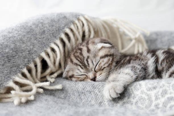 Cute scottish fold kitten sleeping picture id677740820?b=1&k=6&m=677740820&s=612x612&w=0&h=dmlnjwn7a2fr8cur vw0bio6owfvqlz ndreez2y2xy=