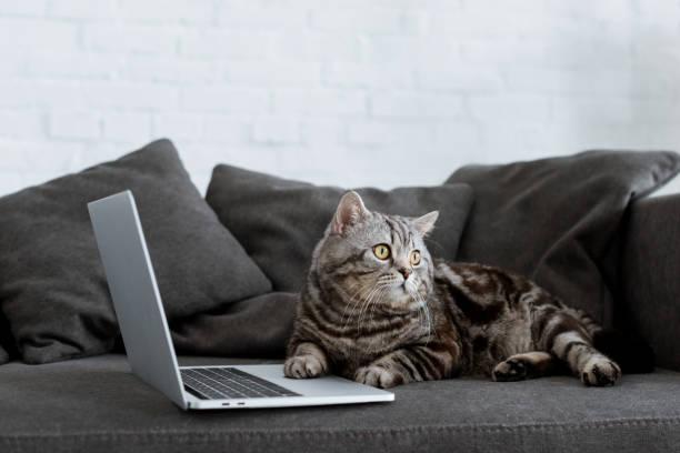 Cute scottish straight cat with laptop on couch picture id980126840?b=1&k=6&m=980126840&s=612x612&w=0&h=dj0ntcqs9n4ckwj8zxh3o0pc6tse9b 6fra92uhwhwi=