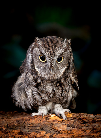 Cute Screech Owl Stock Photo - Download Image Now - iStock