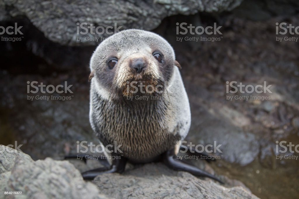 Cute Sea Lion Resting on a Rock stock photo