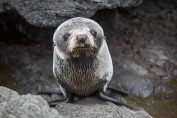 Cute Sea Lion Resting on a Rock Sea lions of New Zealand seal pup stock pictures, royalty-free photos & images