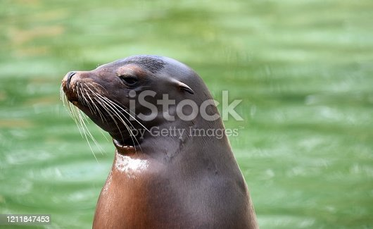 Seal face close up with green sea background