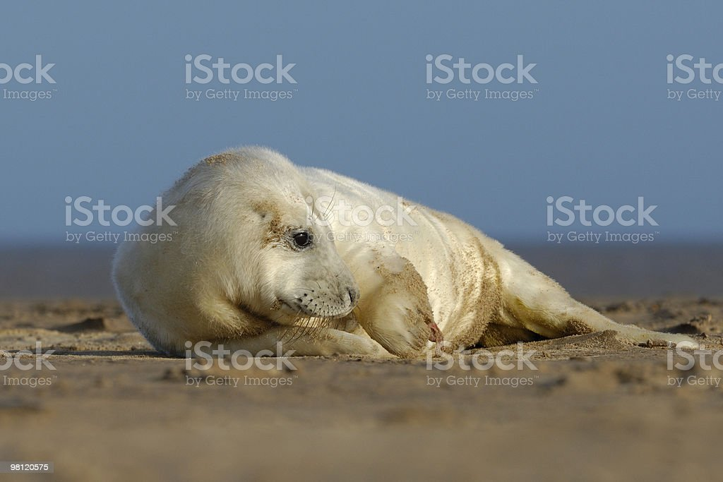 Cute seal pup royalty-free stock photo