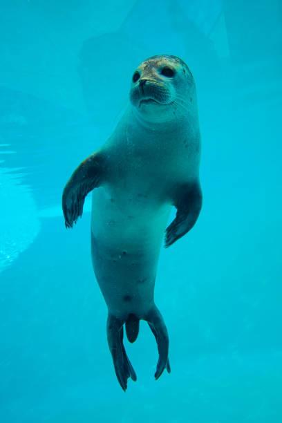 Cute seal swim in zoo aquarium stock photo