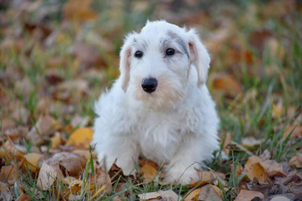 niedliche sealyham terrier welpen hautnah. waliser border terrier oder terrier cowley. zwei monate altes. - sealyham terrier stock-fotos und bilder