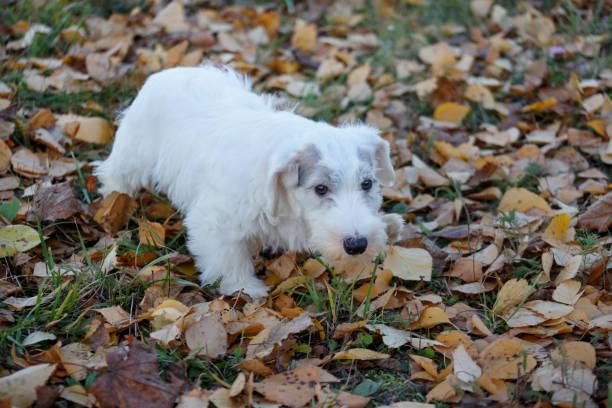 niedliche sealyham terrier welpe sucht in die kamera. waliser border terrier oder terrier cowley. zwei monate altes. - sealyham terrier stock-fotos und bilder