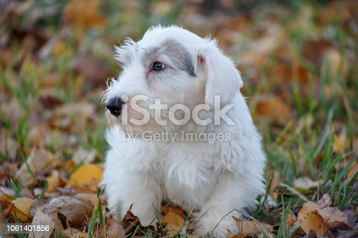 Cute sealyham terrier puppy is lying in the autumn foliage. Welsh border terrier or cowley terrier. Two month old. Pet animals.