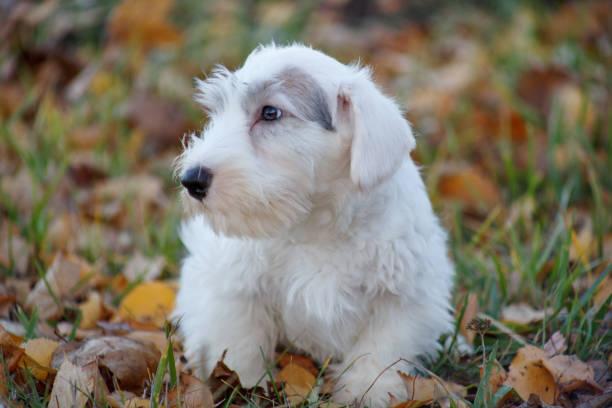 niedliche sealyham terrier welpe liegt im herbst laub. waliser border terrier oder terrier cowley. zwei monate altes. - sealyham terrier stock-fotos und bilder