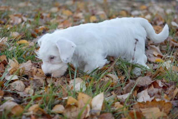 niedliche sealyham terrier welpe spielt in das herbstlaub. waliser border terrier oder terrier cowley. zwei monate altes. - sealyham terrier stock-fotos und bilder