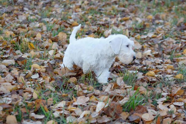niedliche sealyham terrier welpe spielt im herbst park. waliser border terrier oder terrier cowley. zwei monate altes. - sealyham terrier stock-fotos und bilder