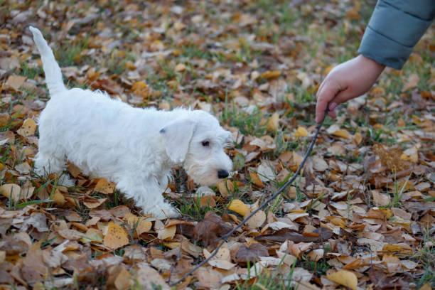niedliche sealyham terrier welpe spielt mit seinem besitzer. waliser border terrier oder terrier cowley. zwei monate altes. - sealyham terrier stock-fotos und bilder