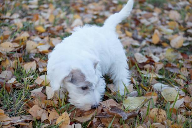 niedliche sealyham terrier welpe ist im herbst park spazieren. waliser border terrier oder terrier cowley. zwei monate altes. - sealyham terrier stock-fotos und bilder