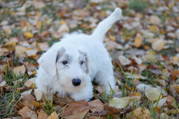niedliche sealyham terrier welpen geht auf den herbst park spazieren. waliser border terrier oder terrier cowley. zwei monate altes. - sealyham terrier stock-fotos und bilder
