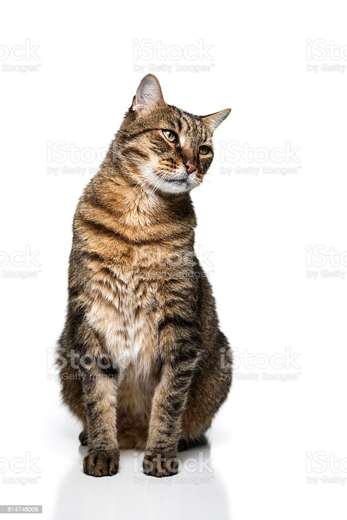 Cute seated adult tabby cat isolated stock photo