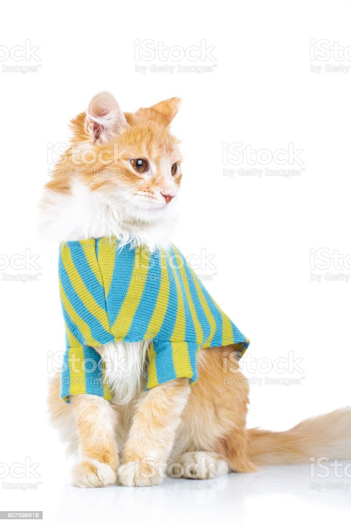 cute seated cat wearing clothes looks to side stock photo