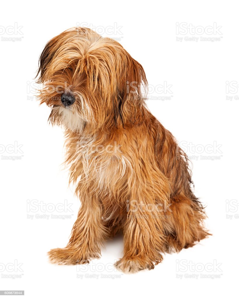 Cute Shaggy Dog Sitting Tilting Head Stock Photo More Pictures Of