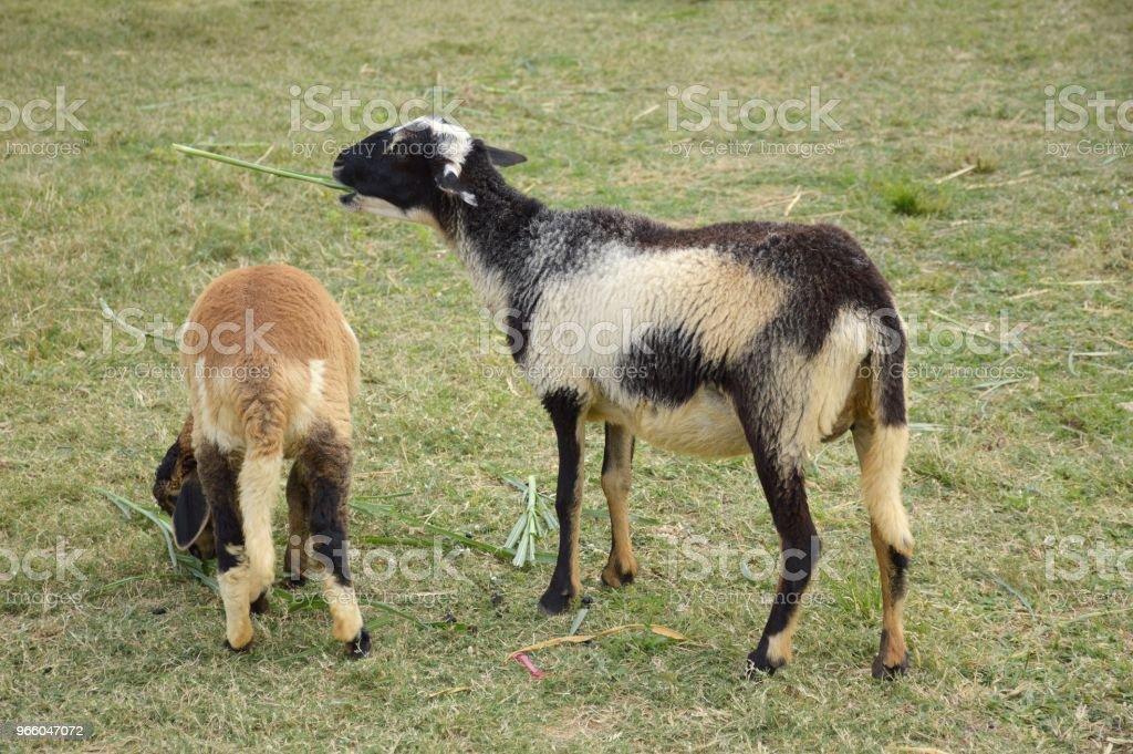 niedlichen Schafe im Garten der Natur - Lizenzfrei Agrarbetrieb Stock-Foto