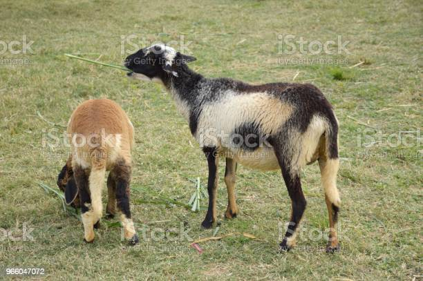 Cute Sheep In Nature Garden - Fotografias de stock e mais imagens de Animal