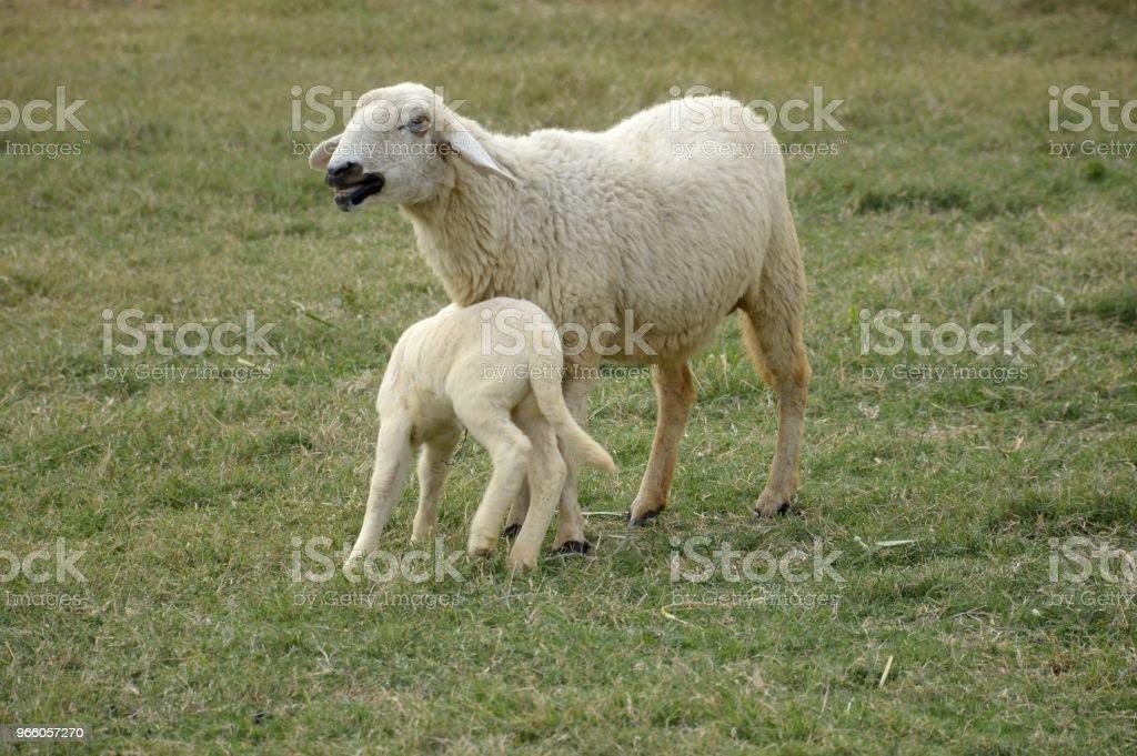 schattige schapen in natuur tuin - Royalty-free Boerderij Stockfoto